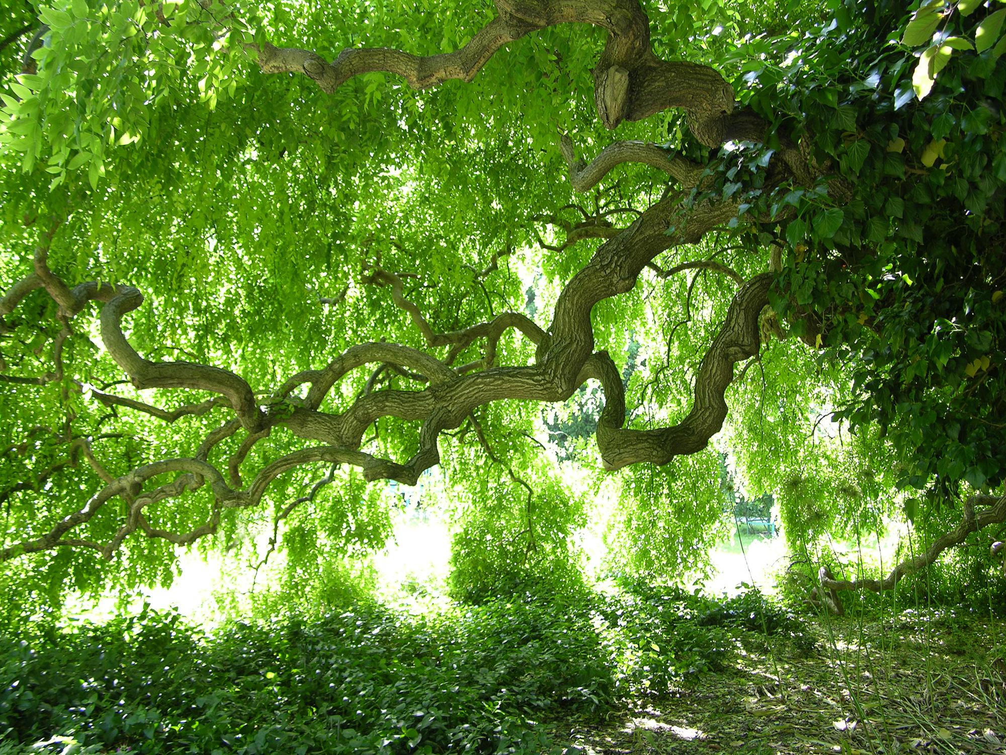 Schnurbaum © GartenAkademie