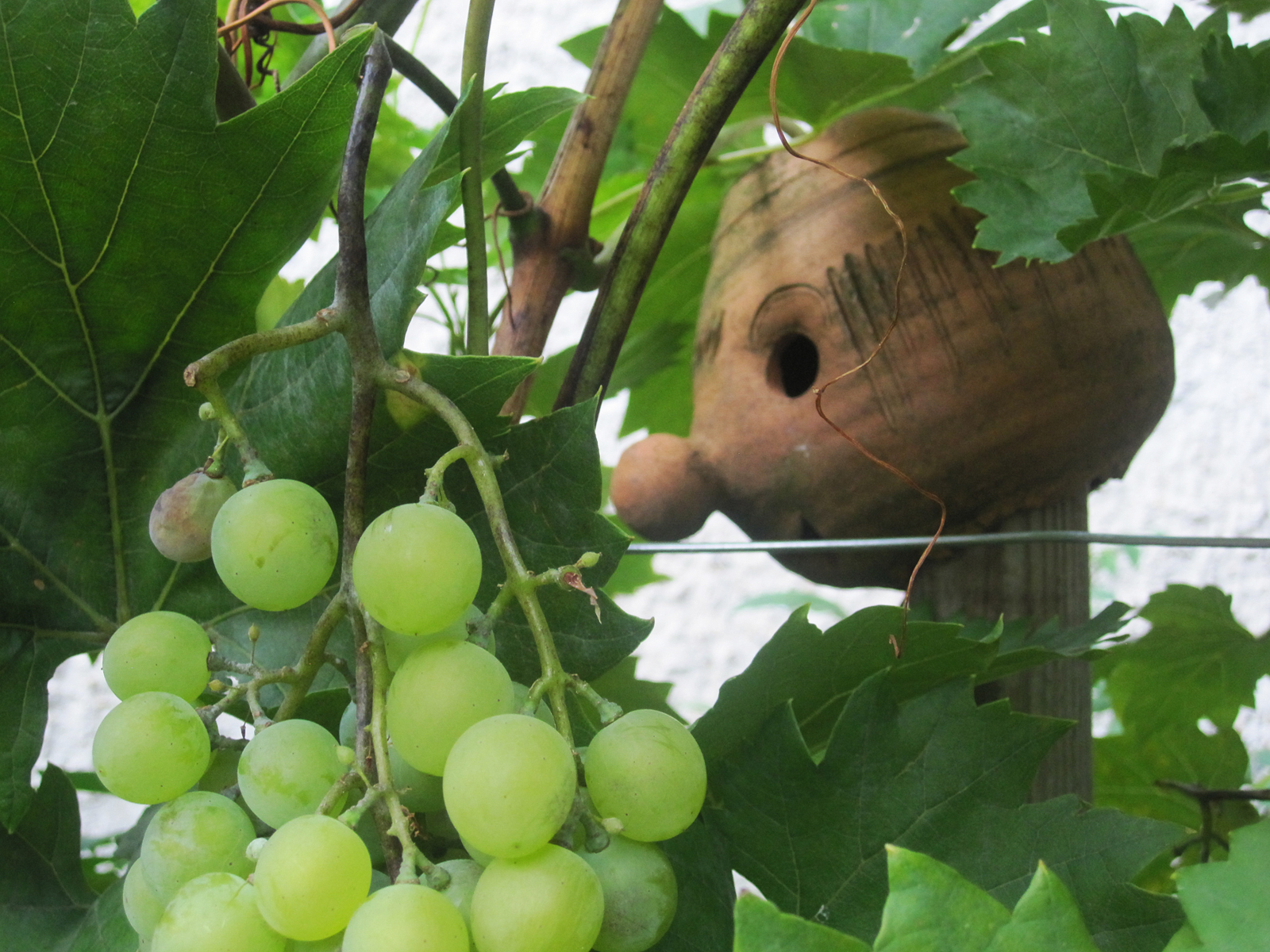 Weintrauben © GartenAkademie.com