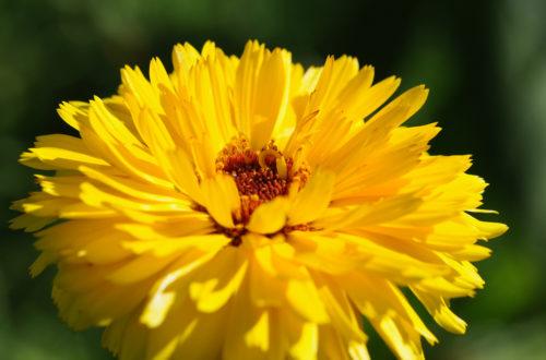 Calendula © meister.photos